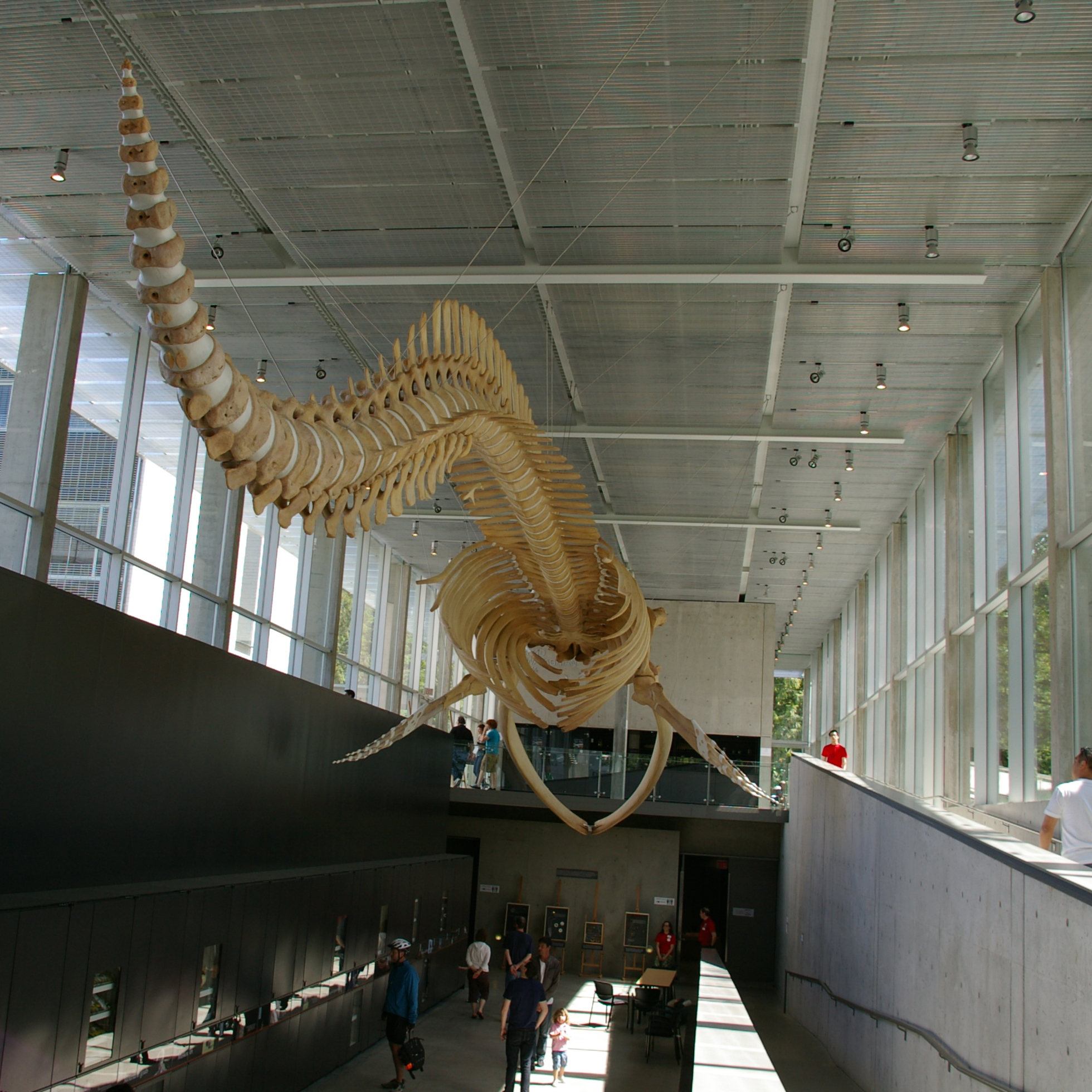 beaty biodiversity centre and museum blue whale